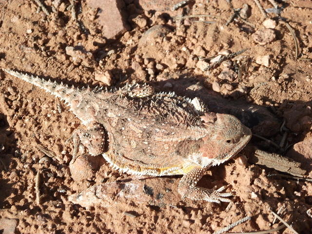 greater-short-horned-lizard 6044776791 o
